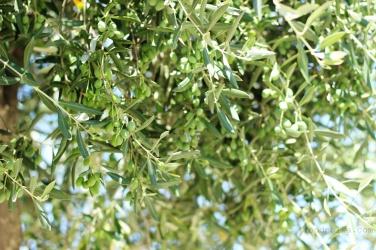 Gąszcz oliwny