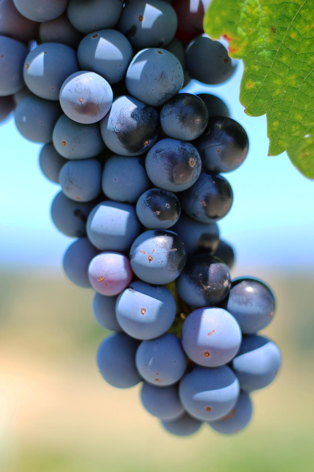 Wino w gronie