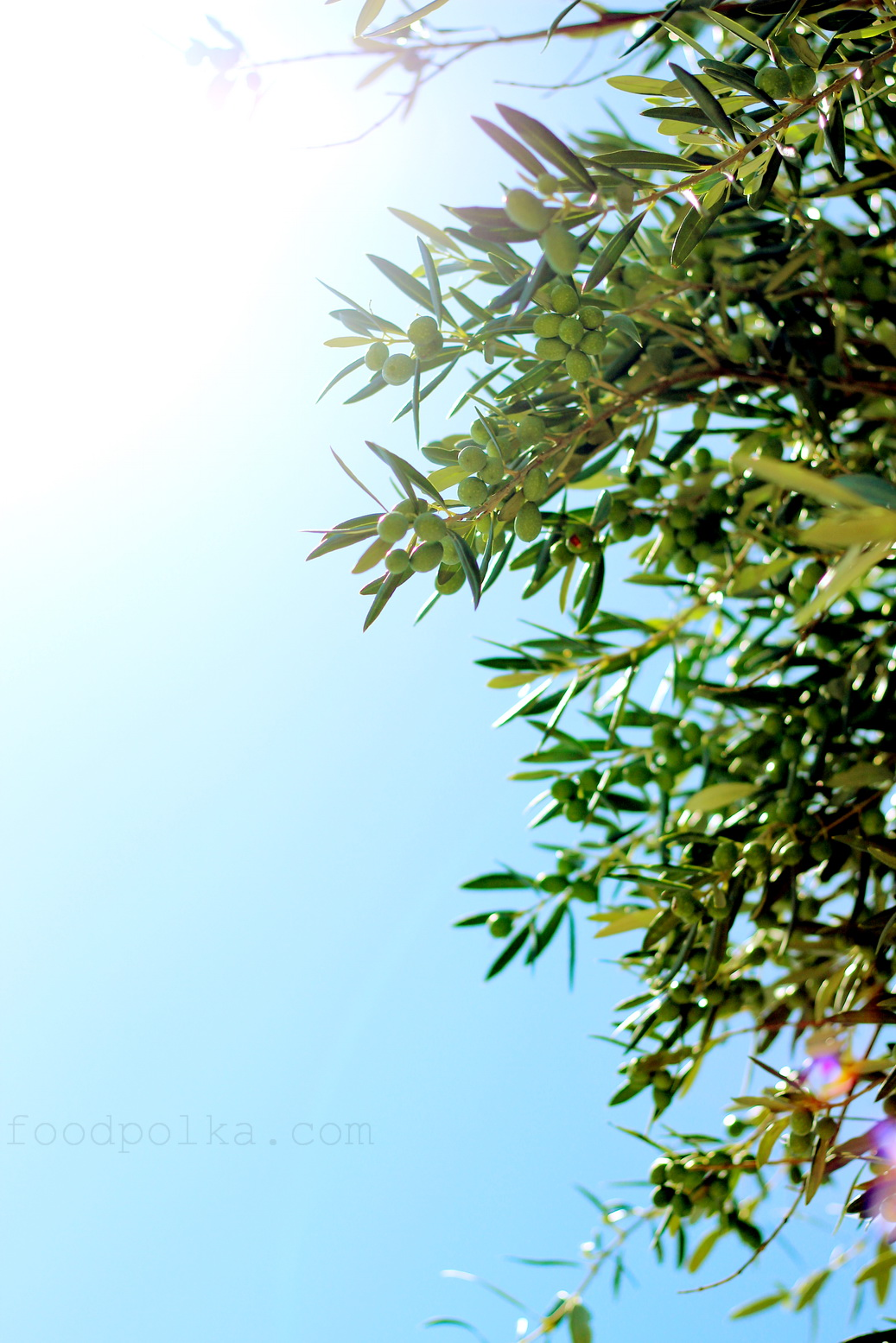 Oliwki dojrzewają w słońcu