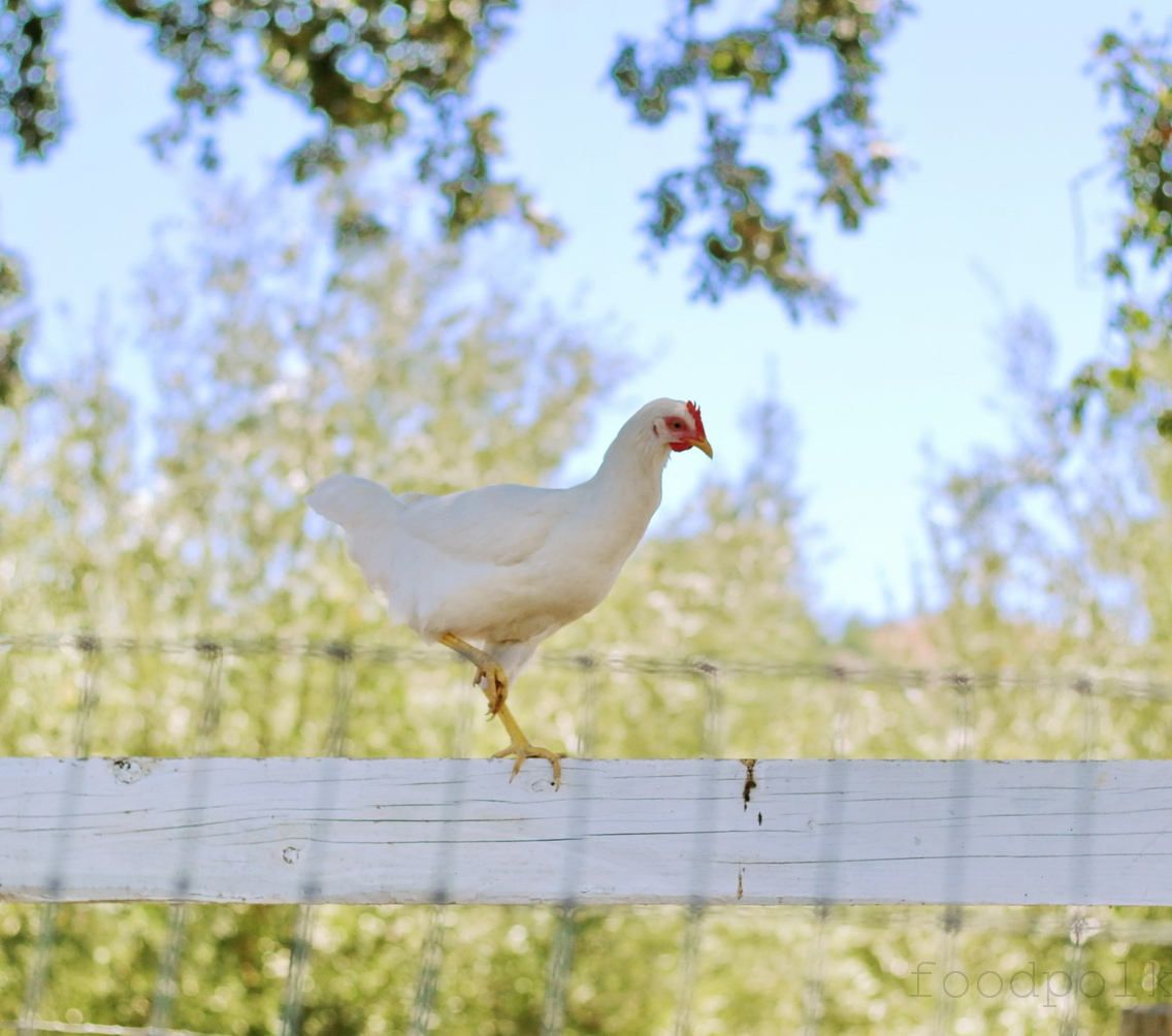 Kurczak akrobata